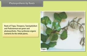 Morphology of Flowering Plants-­Roots: Photosynthesis by Roots