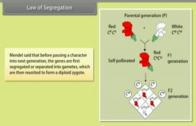 Heredity And Evolution-­II: Law of Segregation